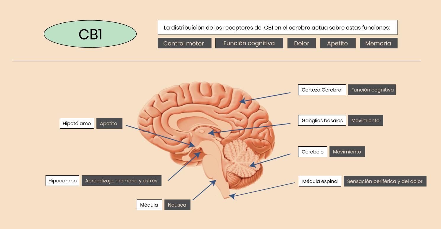 El Receptor CB1 en nuestro Cerebro