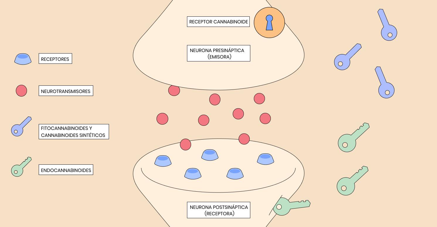 Infografía: El funcionamiento del Sistema Endocannabinoide