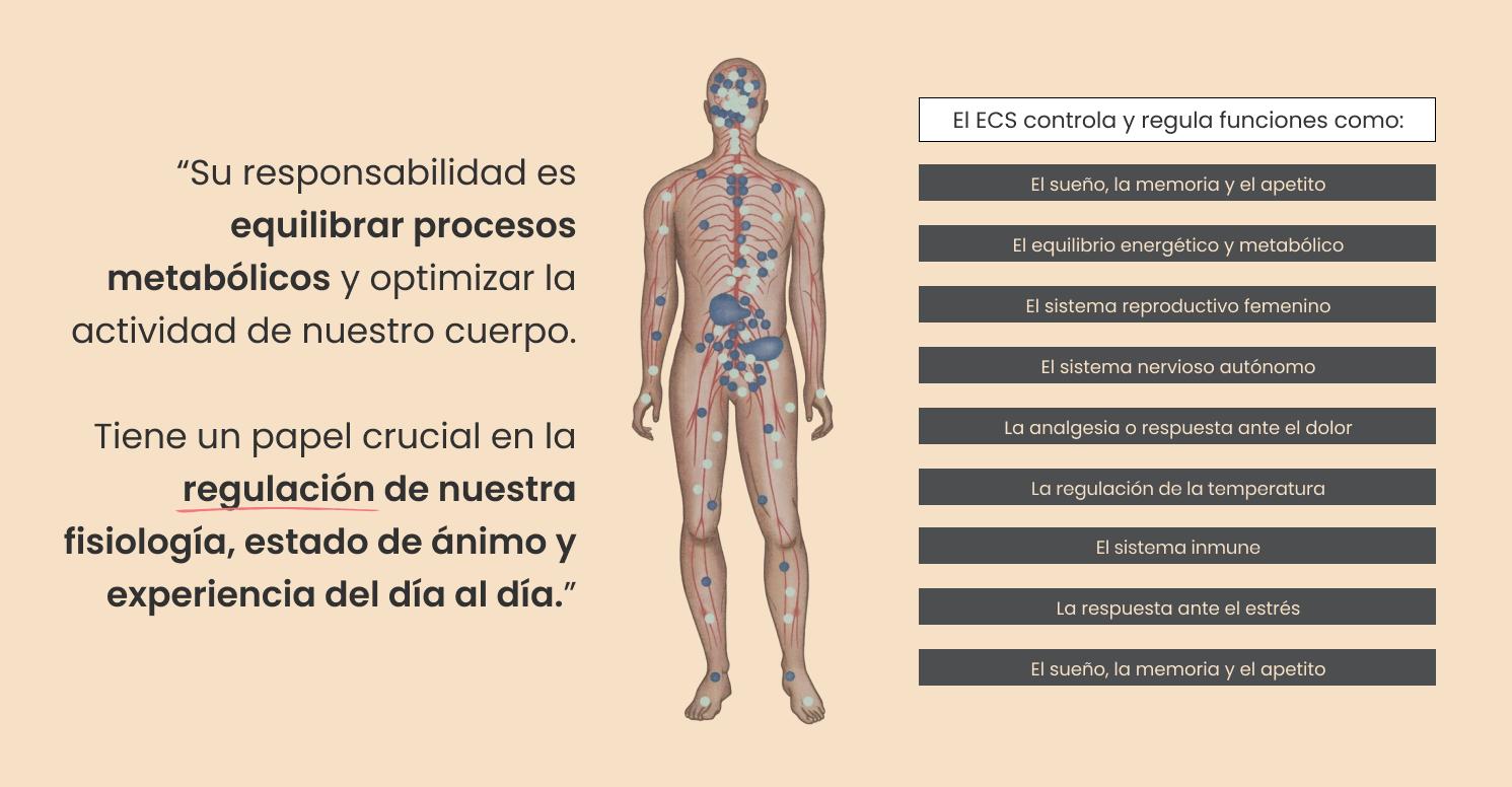 Infografía: Cómo funciona el Sistema Endocananbinoide.