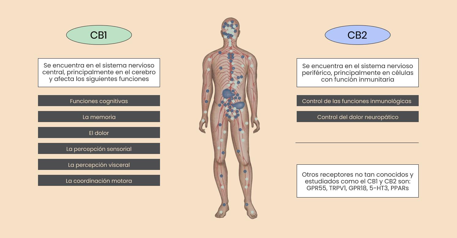 Infografía: Dónde se encuentra el Sistema Endocannabinoide.