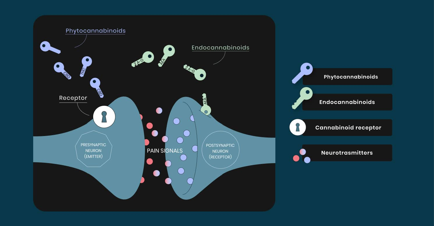 Graphic - Endocannabinoid processes