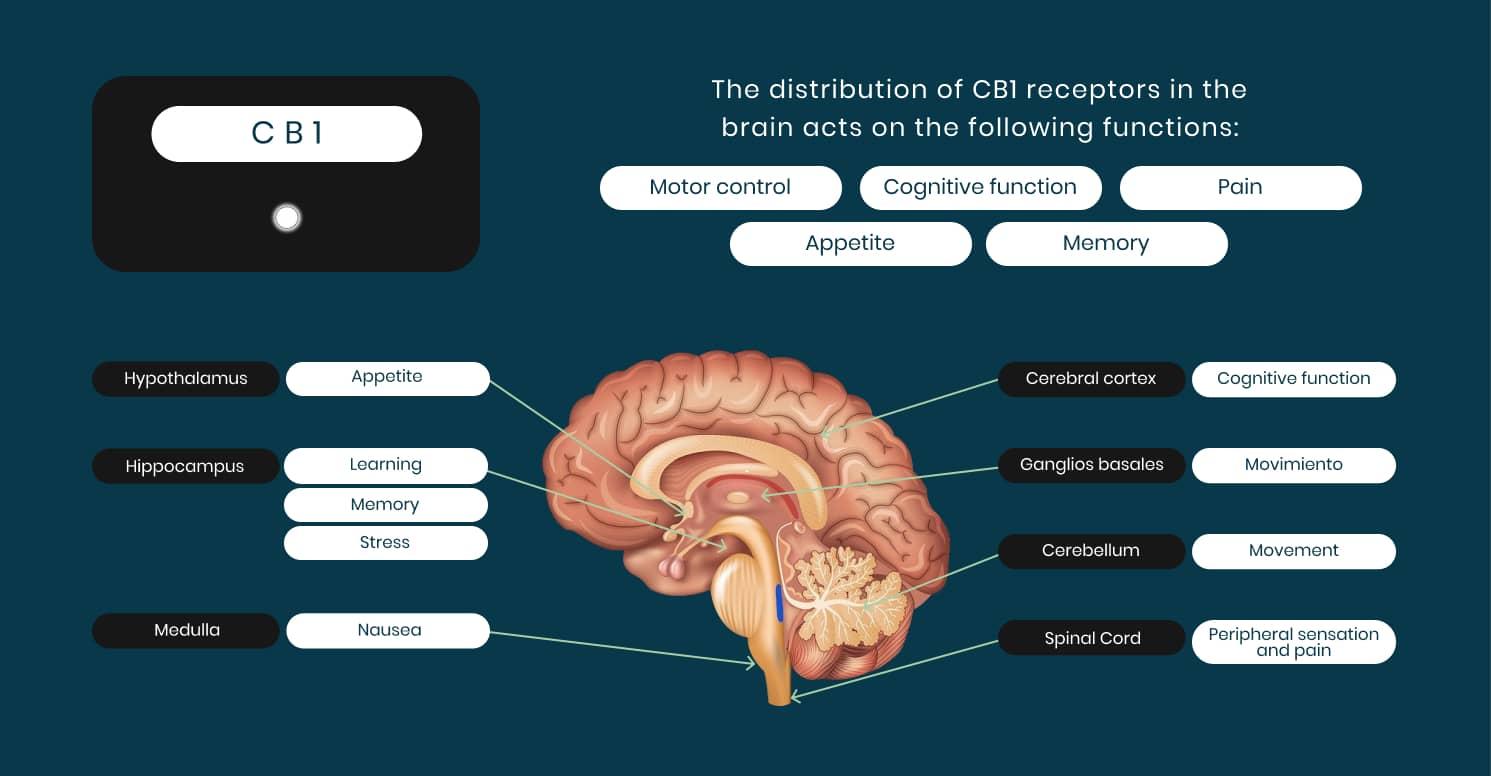 Graphic - Cannabinoid receptors in the brain